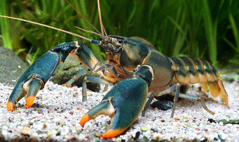 New Indonesian crayfish species escapes the decor market to become a freedom fighter