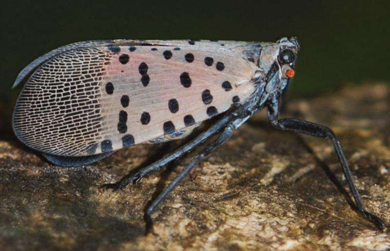 New resource to help manage the invasive spotted lanternfly