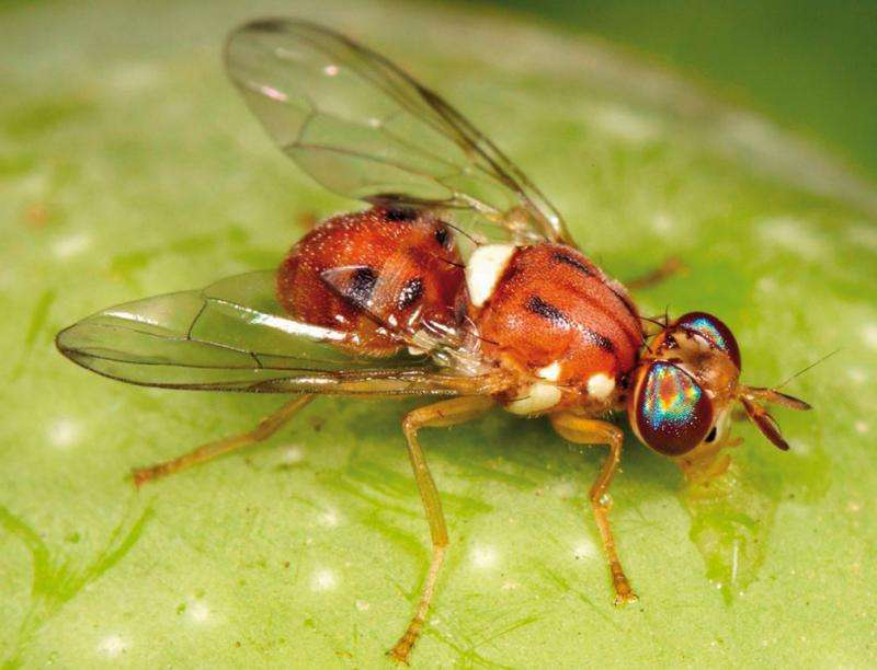 New resource will help growers manage the olive fruit fly