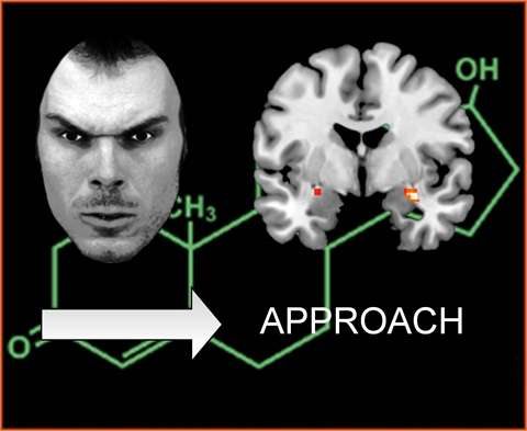 New vision on amygdala after study on testosterone and fear