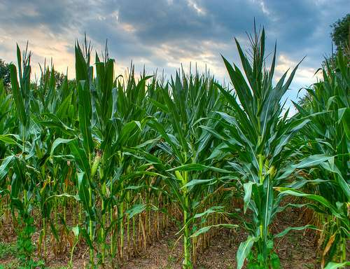 Not all GMO plants are created equally: it's the trait, not the method, that's important