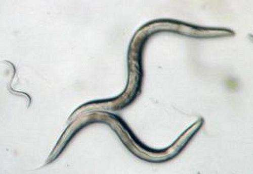 Nothing to squirm about: Space station worms help battle muscle and bone loss