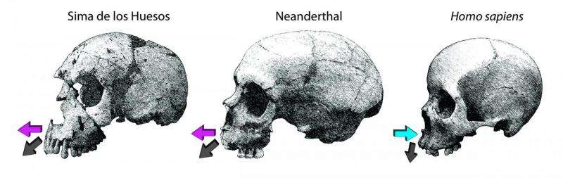 NYU-led research differentiates facial growth in Neanderthals and modern humans