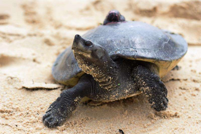 One of world''s rarest turtles heading back to the wild