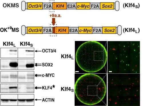 OSKM stoichiometry determines iPS cell reprogramming
