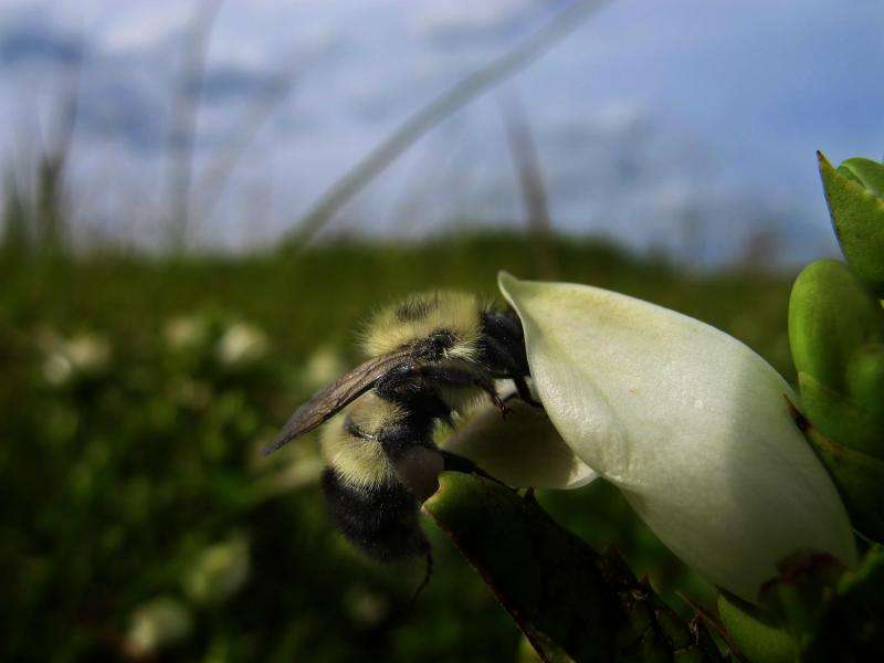 Parasitized bees are self-medicating in the wild, Dartmouth-led study finds