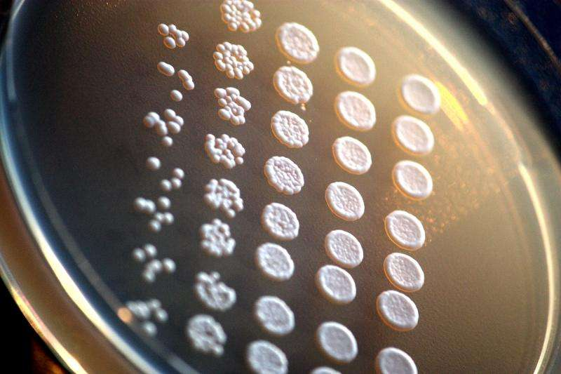 Partly human yeast show a common ancestor's lasting legacy
