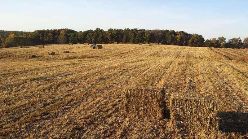 El consumo de agua de los cultivos de biocombustibles perennes es similar al del maíz