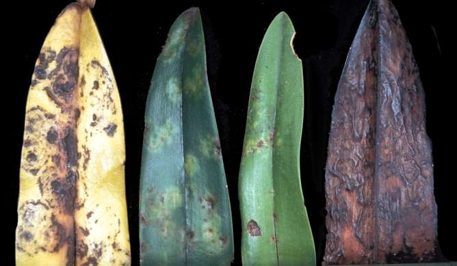 Plant viruses—from crop pathogens to key players in bio-nanotechnology