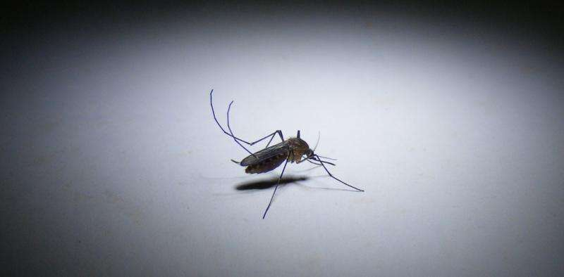 Playing God with mosquitoes? We humans have loftier aims
