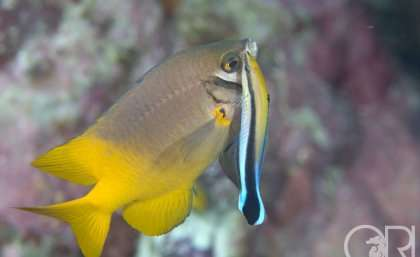 Presence of bluestreak cleaner wrasse increases the number of juvenile fish on reefs