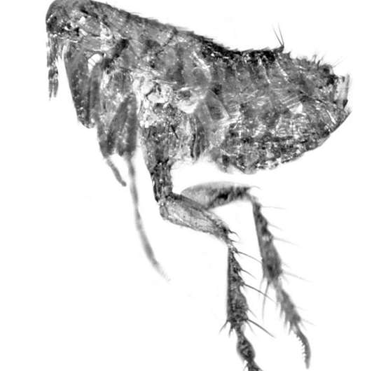 Previously unknown flea genus and species discovered in fossilized dominican amber