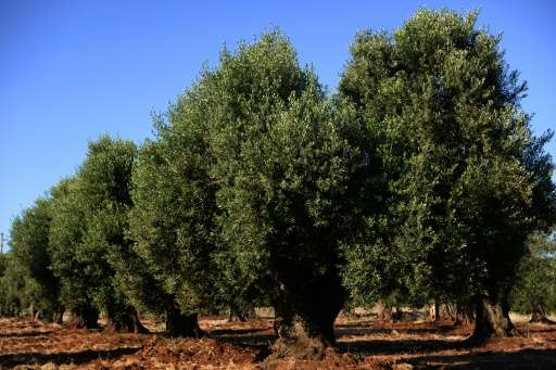 Prosecutors in Puglia banned the culling of olive trees apparently affected with Xylella Fastidiosa, a bacteria with no known cu