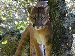 Pumas in populated areas kill more and eat less