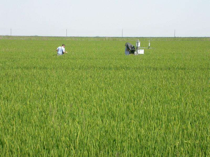 Quantifying the water used in different rice crops