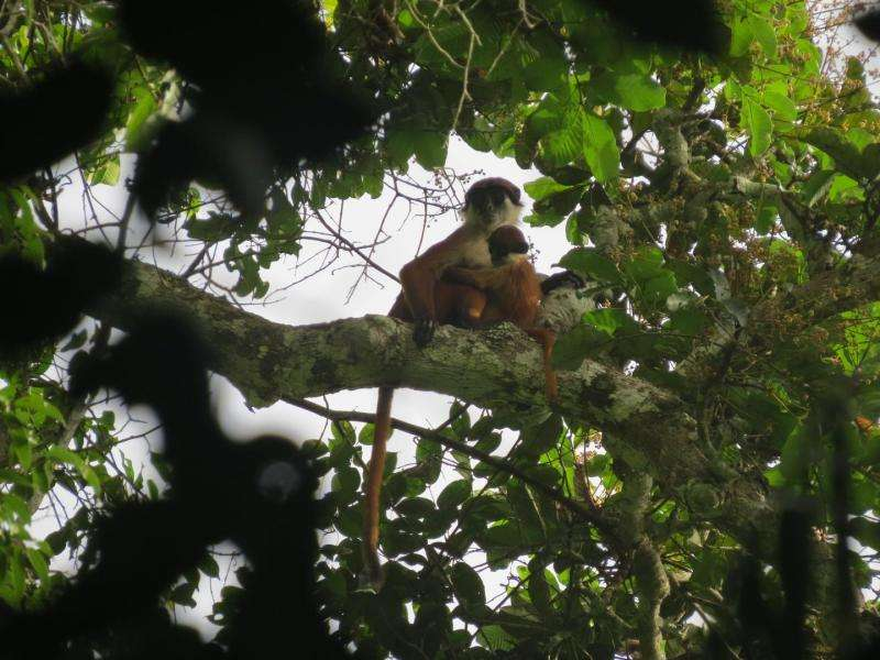 Rare monkey photographed in Congo's newest national park, Ntokou-Pikounda
