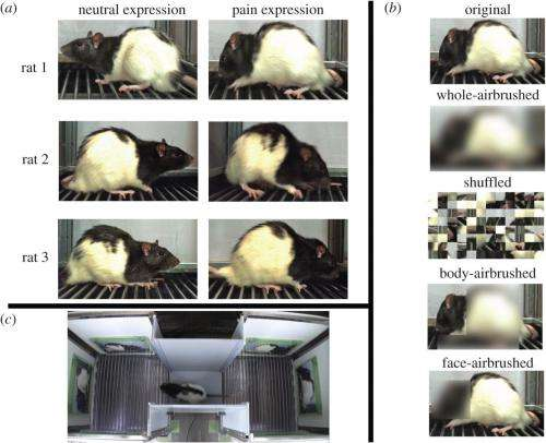 Rats found able to recognize pain in other rat faces