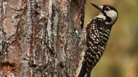 Red-cockaded woodpeckers continue to surpass expectations