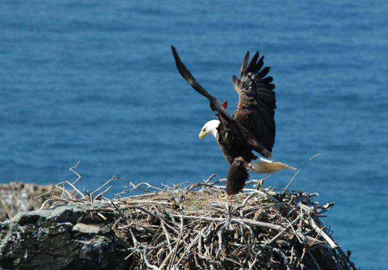 Reintroduced Channel Islands eagles thrive on a diet of seabirds and fish