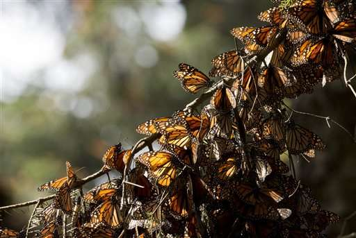 Report: Mexico's monarch butterfly reserve lost 24 acres