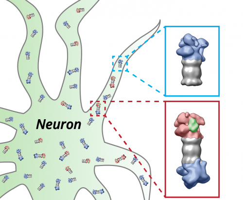 Researchers observe protein degradation in intact brain cells