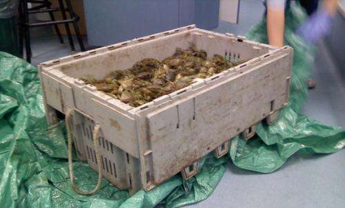 Research suggests green crab is risky bait for lobster industry