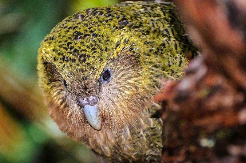 Rimu berry 'game changer' for Kakapo breeding