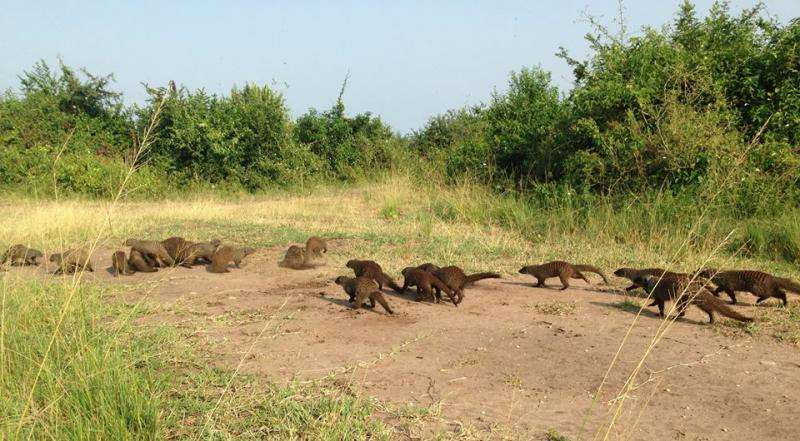 Romeo and Juliet roles for banded mongooses
