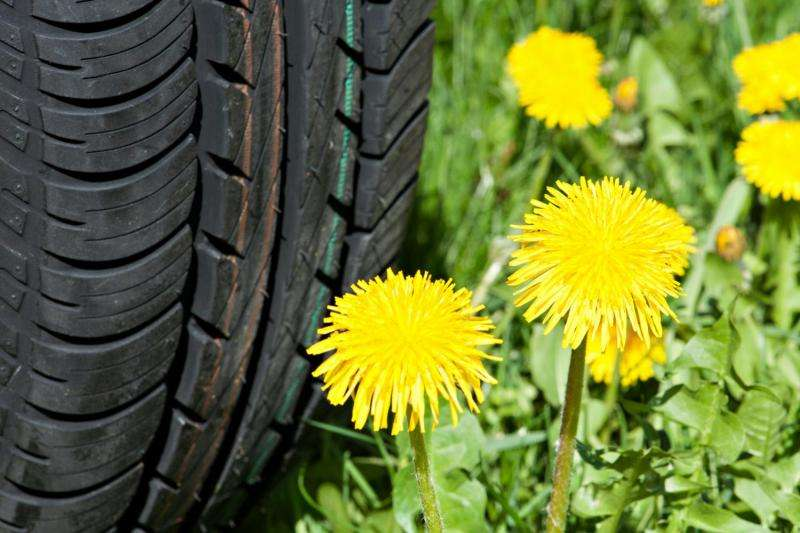 Rubber from dandelions