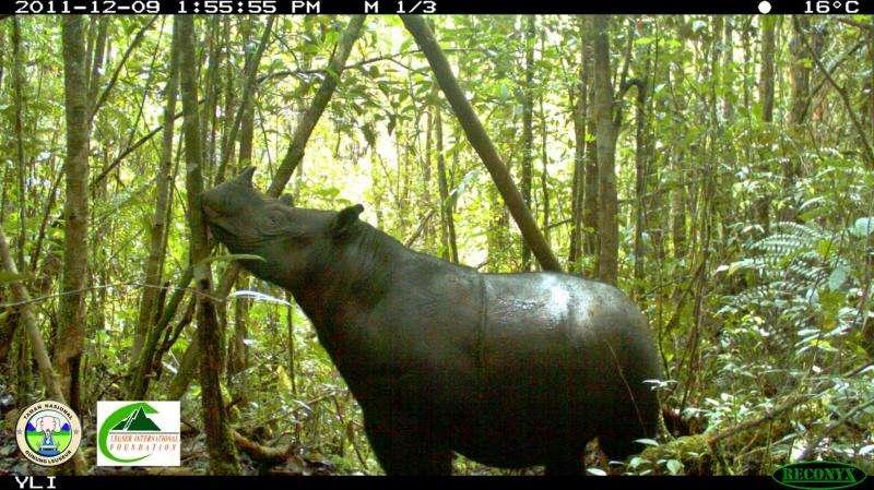 Saving the last groups of wild Sumatran rhinoceros