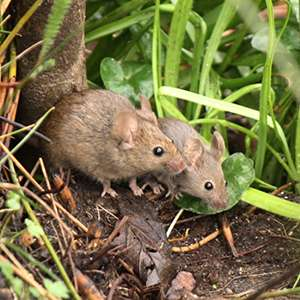 Scientists sniff out female mouse scents that make males frisky