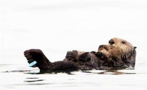 Sea otter rescued in California oil spill dies of shark bite