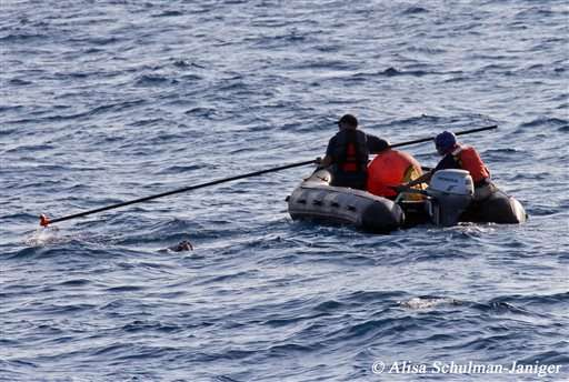 Search resumes for tangled blue whale off California coast