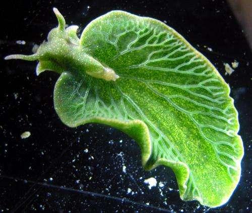 Sea slug has taken genes from algae it eats, allowing it to photosynthesize like a plant