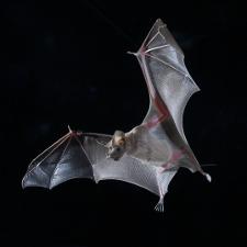 Sending bat signals: Unique 'supper's ready' alert beckons hungry bats