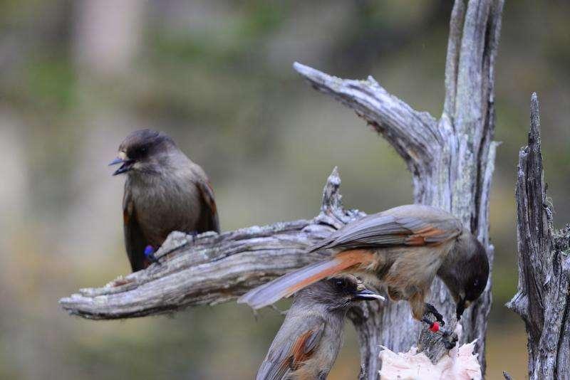 Siberian jays can recognize unfamiliar, distant relatives