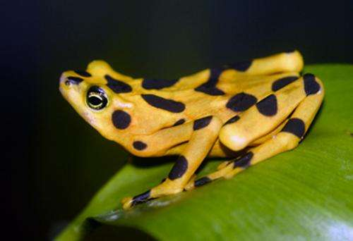 Skin microbiome may hold answers to protect threatened gold frogs from lethal fungus