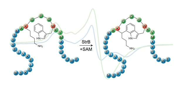 Solving streptide from structure to biosynthesis