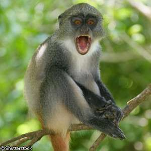 Some monkeys can understand danger calls made by different monkey species