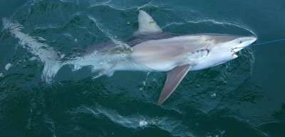 Some shark species more likely to die during fisheries capture than others
