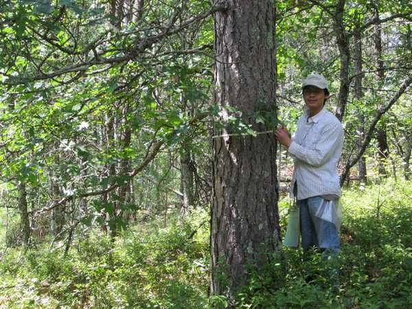 Starved for fire, Wisconsin's pine barrens disappear