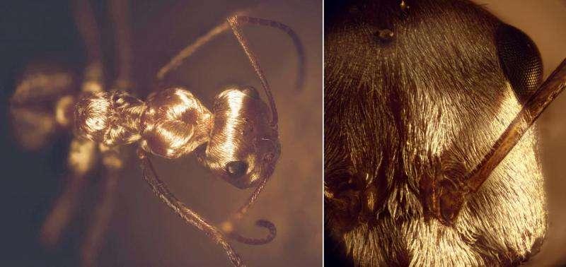 Staying cool: Saharan silver ants