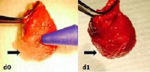 Sticky gel helps stem cells heal rat hearts