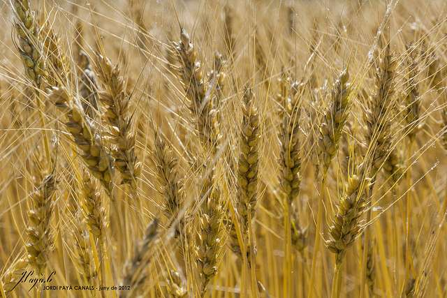 Strategy to derive a sequence assembly for plant genome of bread wheat