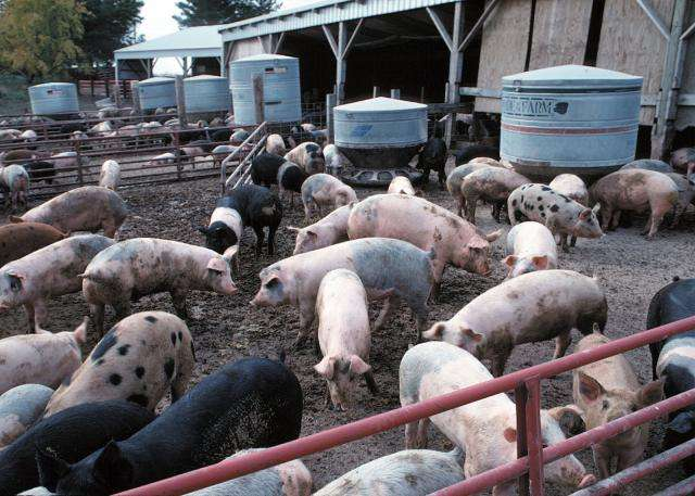 Study finds swine farming is a risk factor for drug-resistant staph infections