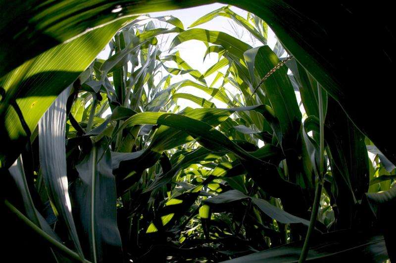 Study: Ground-level ozone reduces maize and soybean yields