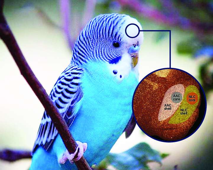 Study hints at why parrots are great vocal imitators