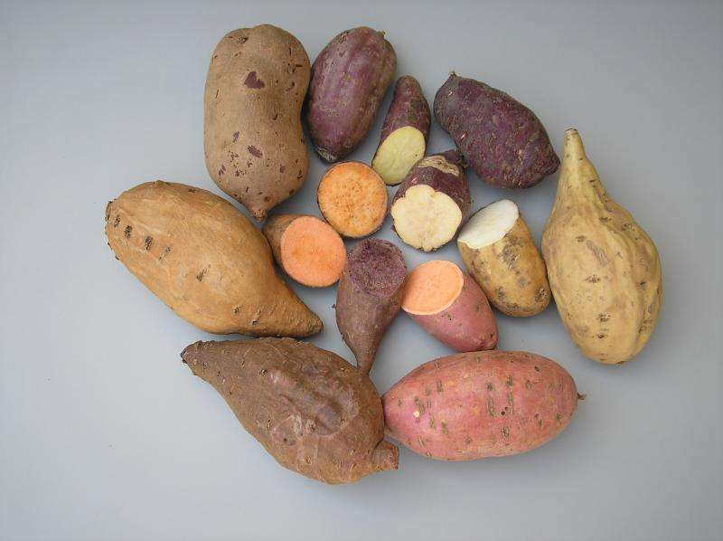 Sweet potato naturally expresses Agrobacterium genes