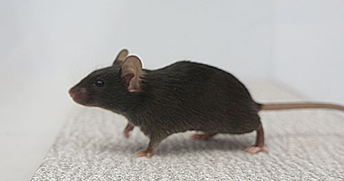 Switching off brain circuit renders mice 'out of touch' with environment