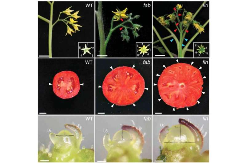 Team pinpoints genes that make plant stem cells, revealing origin of beefsteak tomatoes